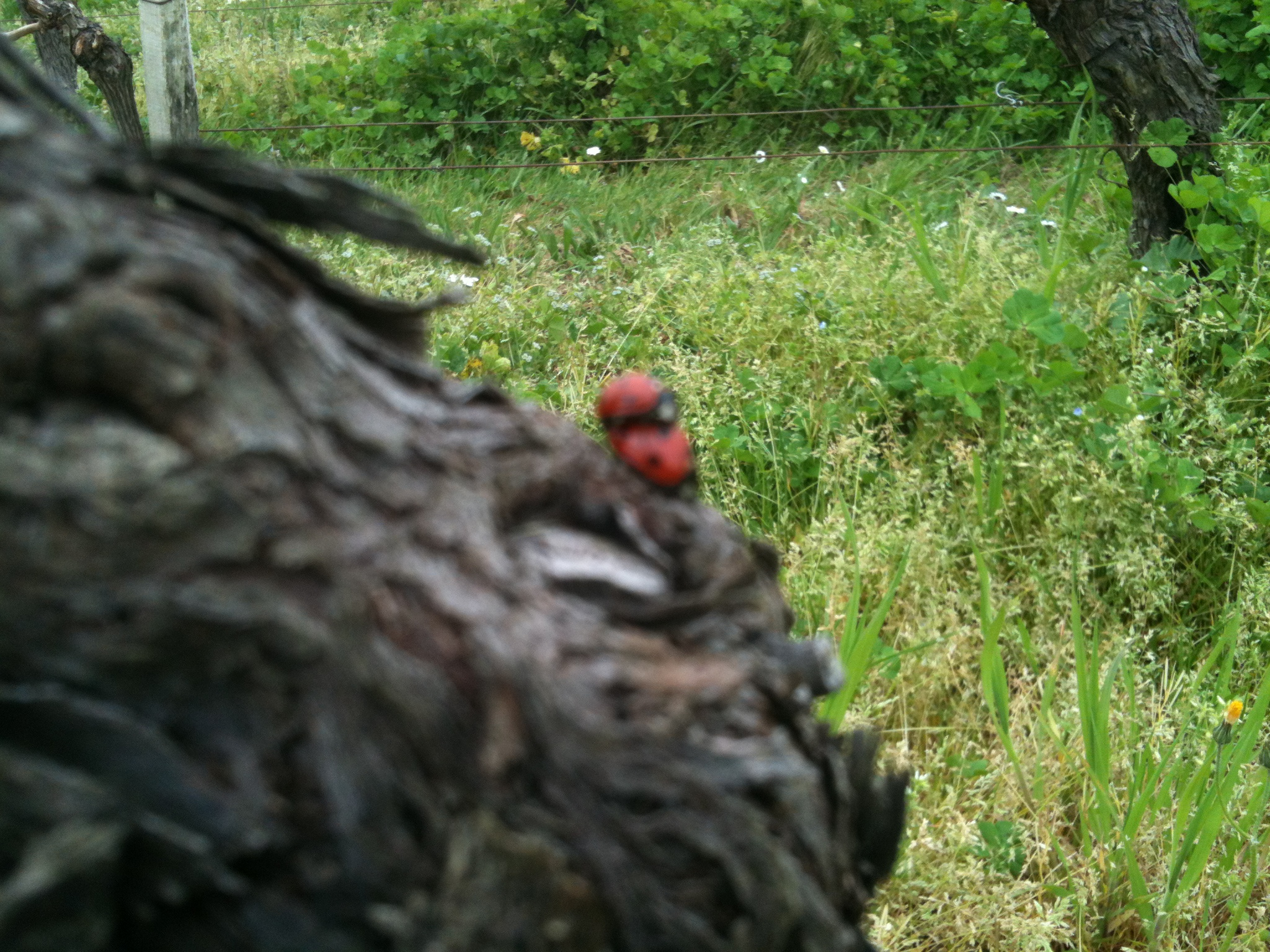 insectes dans le vignoble